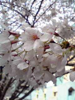 yksakura.jpg